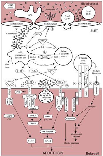 Apoptosis of pancreatic β-cells in Type 1 diabetes
