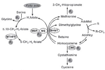 Polymorphism in Methylentetrahydrofolate Reductase Gene: Important Role in Diseases