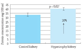 Angiotensin Converting Enzyme Activity in Compensatory Renal Hypertrophy