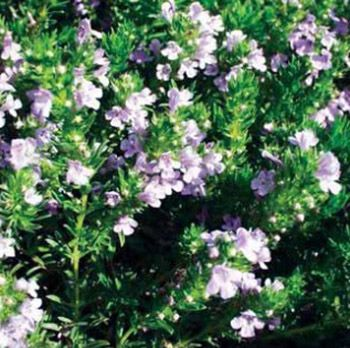 Research into microscopic structure and essential oils of endemic medicinal plant species Satureja subspicata Bartl. ex Vis. (Lamiaceae)