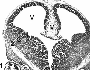 Development of the rat telencephalon-volumetric analysis