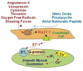 Endothelin in health and disease
