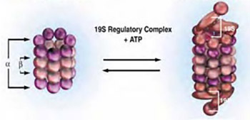 Proteasome inhibitors: new class of antitumor agents
