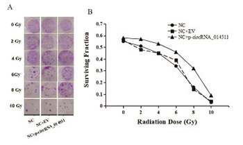 CircRNA_014511 affects the radiosensitivity of bone marrow mesenchymal stem cells by binding to miR-29b-2-5p
